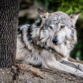 Beautiful Grey Wolf by Jeffrey Martin - Animals Other ( grey wolf, animals, zoo, wolf, beautiful )