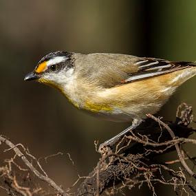 Striated Pardalote by Erica Siegel - Animals Birds ( bird, ground-dwelling bird, insectivorous bird, pardalote, small bird, striated pardalote )