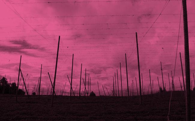 Hop poles in Tettnang