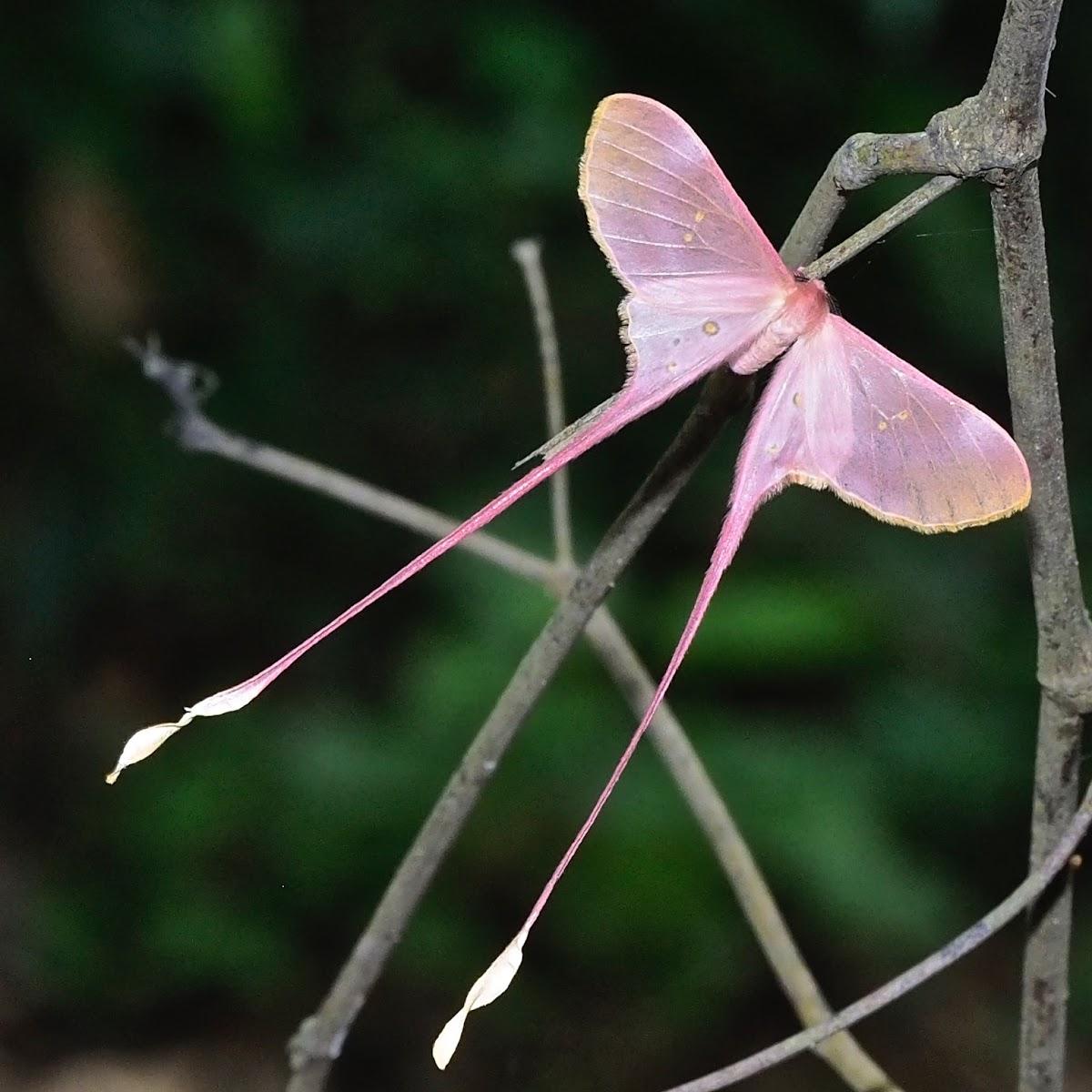 Pink Silk Moth