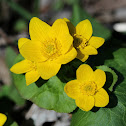 Marsh-marigold (Kingcup)