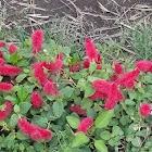 Firetail Chenille Plant