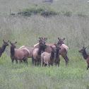 Elk herded by cows