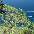 Tree Spurge