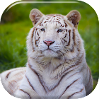 White Tiger Live Wallpaper icon