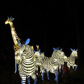 Chinese Lantern Festival by Jenny Gandert - Public Holidays Christmas ( gandert, chinese lantern festival, jenny gandert, giraffes, zebras )