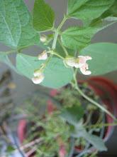 Photo: Flors de la mongetera