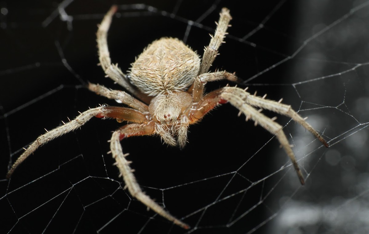 Spotted Orb-weaver