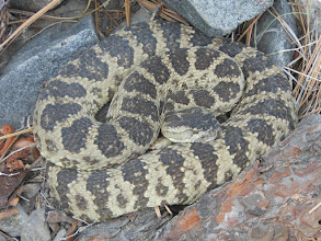 Photo: Sierra Canyon Trail/Genoa Loop/Eagle Ridge Loop-Rattlesnake