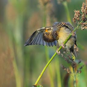 baya female....jagat........................canon 1100D 55-250 IS by Dr. Mahendra singh Rathore - Animals Birds
