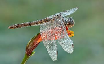 Photo: Sympetrum sanguineum, Sympétrum rouge sang, Ruddy Darter  http://lepidoptera-butterflies.blogspot.com/