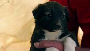 Briard, Canaan Dog, Dogo Argentino, Japanese Chin, Wonder Dog, Clumber Span thumbnail