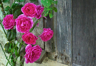 Photo: Shutter and Roses at Marinette's