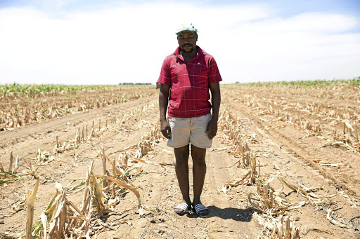 Crop flop: Phillip Manoto of the Free State took the painful decision to write off his maize crop and feed the stunted plants to his cattle during one of the recent droughts. Pictur: JAMES OATWAY