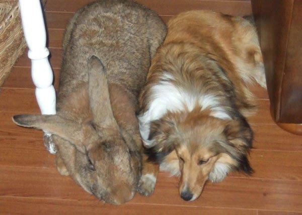 फ्लेमिश खरगोश।