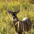 Columbian white-tailed deer