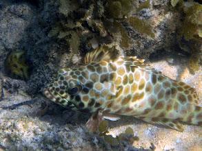 Photo: Longfin Grouper