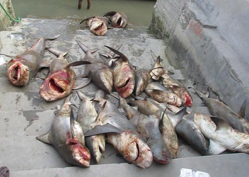 White Cheek Shark Slaughtered for the Illegal Shark Fin Trade