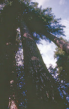 """Photo: 63. Typical old growth Douglas fir in Buck Creek Valley, a tributary to the Suiattle River. The valley was omitted from wilderness protection by the Forest Service which claimed """"it had too much timber"""". The Forest Service has stated its intent to log this valley if it is not protected by a National Park or Wilderness status."""