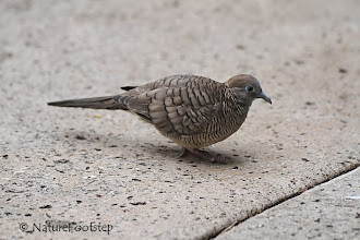 Photo: Zebra Dove - Geopelia striata © NF Photo 130813, Honolulu http://nfbirdworld.blogspot.se/2014/03/zebra-dove-geopelia-striata.html