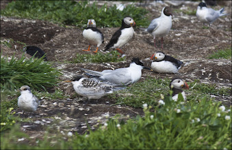 Photo: Bird N°25 Sandwich Tern - Sterna sandvicensis While on the Farne Islands I managed to get a shot of all Three species of Tern that had bred there this year. I thought I'd share them one after the other so that you can clearly see the differences between them. The Sandwich Tern is in the middle of this image with the black head and the yellow tipped beak, in front of it is a Juvenile Sandwich Tern. The Sandwich Tern is a medium-large tern with grey upperparts, white underparts, a yellow-tipped black bill and a shaggy black crest which becomes less extensive in winter with a white crown. Young birds bear grey and brown scalloped plumage on their backs and wings. It is a vocal bird. It nests in a ground scrape and lays one to three eggs.  Description Terns, family Sternidae, are small to medium-sized seabirds, gull-like in appearance, but usually with a more delicate, lighter build and shorter, weaker legs. They have long, pointed wings, which gives them a fast buoyant flight, and often a deeply forked tail. Most species are grey above and white below, and have a black cap which is reduced or flecked with white in the winter. The Sandwich Tern is a medium-large tern, 37–43 cm (15–17 in) long with an 85–97 cm (33–38 in) wingspan, their thin sharp bill is black with a yellow tip. Its short legs are black. Its upperwings are pale grey and its underparts white, and this tern looks very pale in flight, although the primary flight feathers darken during the summer. In winter, the adult Sandwich Tern's forehead becomes white. Juvenile Sandwich Terns have dark tips to their tails, and a scaly appearance on their back and wings, like juvenile Roseate Terns, a species that has been known to breed on the Farne Islands, but not this year. The Sandwich Tern is a vocal bird; its call is a characteristic loud grating kear-ik or kerr ink.  Behaviour Sandwich Ternsbreed in very dense colonies on coasts and islands, and exceptionally inland on suitable large freshwater lakes clos