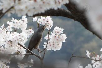 Photo: ヒヨドリ