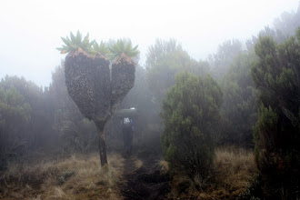 Photo: Cloud forest plants: Senecio Kilimanjari