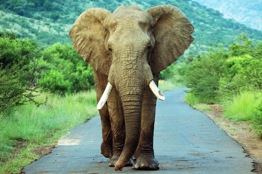 Elephant by Karin De Leeuw Luck - Animals Other Mammals (  )