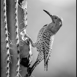 Gila Woodpecker by Dave Lipchen - Black & White Animals ( gila woodpecker )