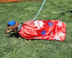 Photo: Wiener Dog Fashion Show at Turf Paradise organized by ArizonaAdoptAGreyhound.org. Photo by Coady Photography