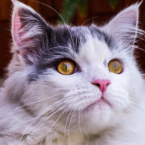 A Cat named Christmas by Theo Collett - Animals - Cats Portraits ( cats, pets, cat's eyes )