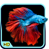 Betta Fish Wallpaper HD