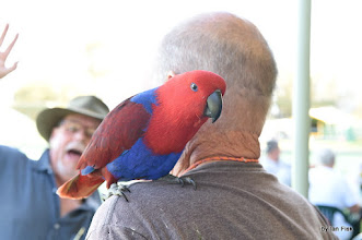 Photo: Annie an eclectus parrot. The eclectus parrot is a parrot native to the Solomon Islands, Sumba, New Guinea and nearby islands, northeastern Australia and the Maluku Islands. Wikipedia