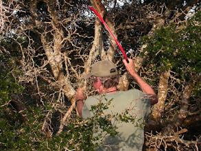 Photo: Collecting hanging dead wood from an Ebony tree for rearing purposes.