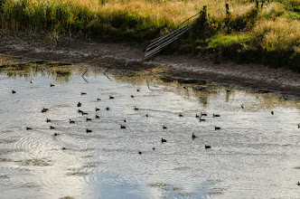 Photo: Waterfowl in Alamosa NWR, CO