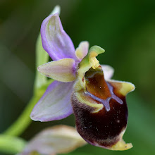Photo: Ophrys sp. (Orchidea)