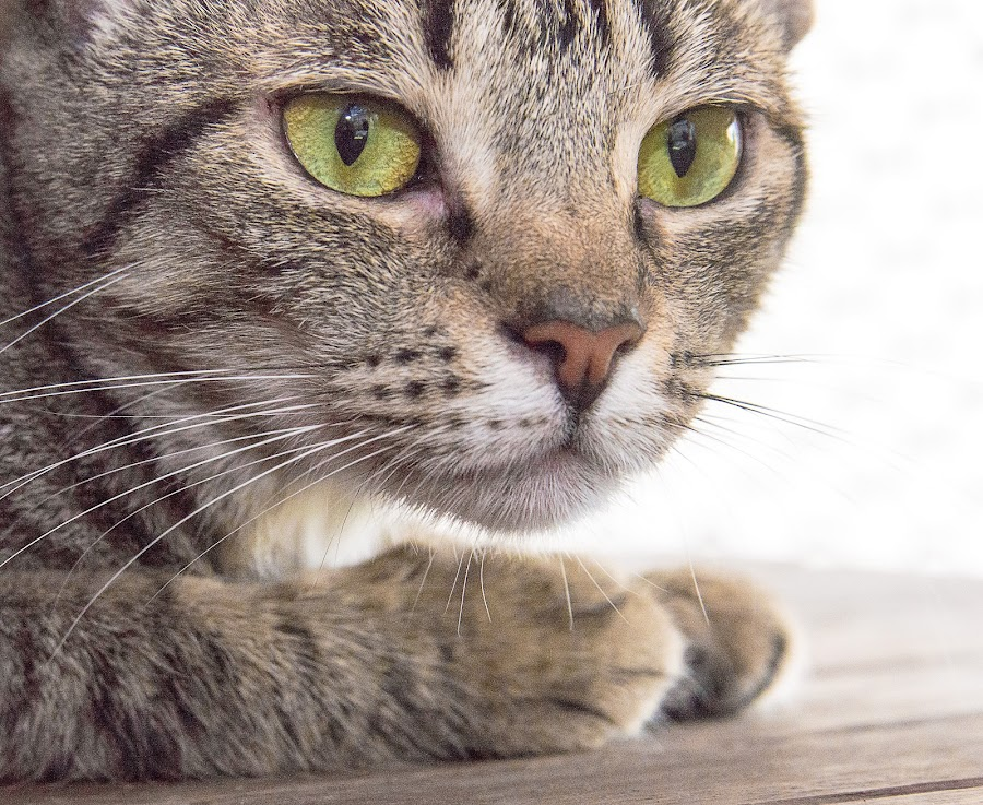 Paka by Courtland Roberts - Animals - Cats Portraits