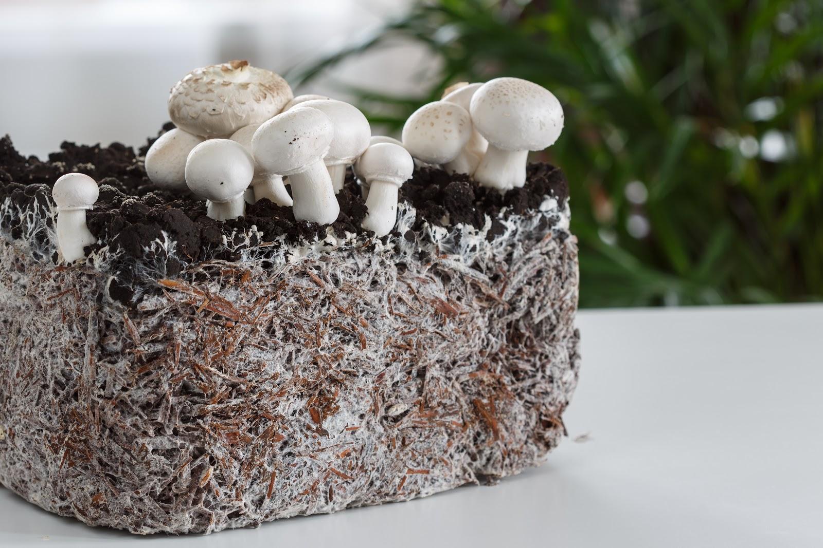 how to grow mushrooms: grown mushrooms