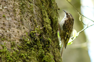 Photo: Brown Creeper:  http://www.allaboutbirds.org/guide/brown_creeper/id