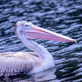 The spot-billed pelican or grey pelican (Pelecanus philippensis) is a member of the pelican family . It is a bird of large inland and coastal waters, especially large lakes. This species was once used by fishermen as decoys for certain fish. These fishermen believed that an oily secretion from the bird attracted certain fish such as Colisa and Anabas #bird #birds #birdsofinstagram #birdswatching #pelican #india #karnataka #canon #outdoors #photography #photooftheday #mysuru #ranganathittubirdsanctuary #trips #lifethroughmylens #live #laugh #love #nature #naturelovers by George Fernandez - Instagram & Mobile Other