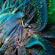 Crinoid Clingfish