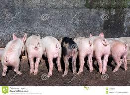 Résultats de recherche d'images pour «pigs at trough photos»