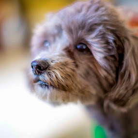 Tequila by Ronald Rivas - Animals - Dogs Puppies ( doggy, dog portrait, poodle toy, dog )