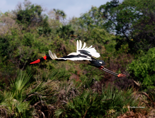 Jabiru, Biodiversity in the Tana delta