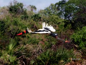 Jabiru, Biodiversity in the Tana delta