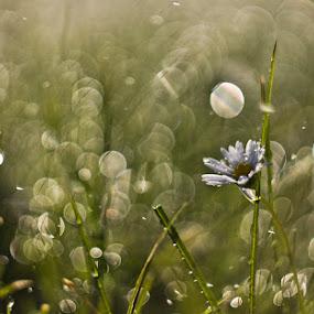 by János Farkas - Nature Up Close Flowers - 2011-2013 ( extension, m42, bokeh, flower )