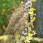 Gray horsehair lichen