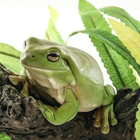 by Steve Hunt - Animals Amphibians (  )