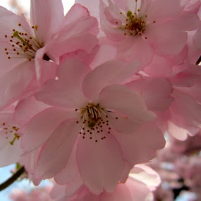 Cherry Blossoms by Viive Selg - Flowers Tree Blossoms (  )