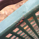 Semut Selangor